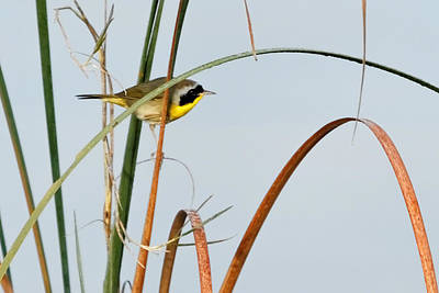 Photograph - Common Yellowthroat by Dawn Currie