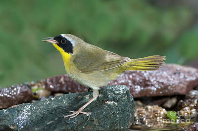 Common Yellowthroat Photograph - Common Yellowthroat Geothlypis Trichas by Anthony Mercieca