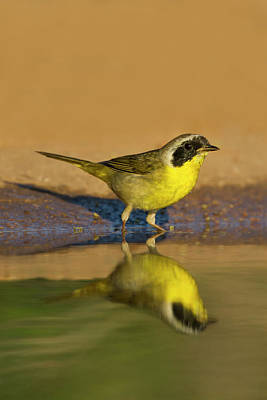 Common Yellowthroat Photograph - Common Yellowthroat (geothlypis Trichas by Larry Ditto