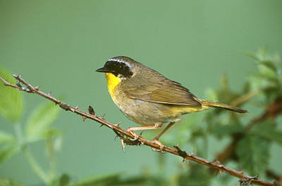 Common Yellowthroat Photograph - Common Yellowthroat Geothlypis Trichas by Paul J. Fusco