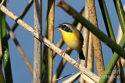 Photograph - Common Yellowthroat by Jennifer Zelik
