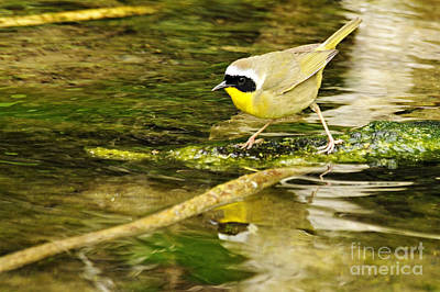 Common Yellowthroat Photograph - Common Yellowthroat by Larry Ricker