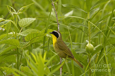 Common Yellowthroat Photograph - Common Yellowthroat - Male by Linda Freshwaters Arndt