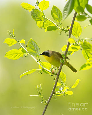 Photograph - Common Yellowthroat by Rima Biswas