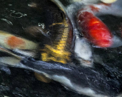 Butterfly Koi Photograph - Commotion by Dorothy Hilde