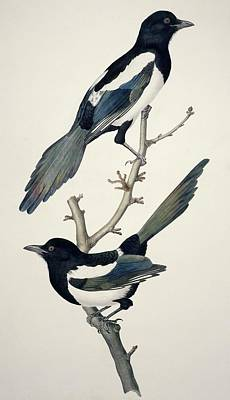 Magpie Photograph - Comon Magpies,19th Century Artwork by Science Photo Library