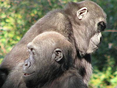 Photograph - Silverback Juveniles by Cleaster Cotton