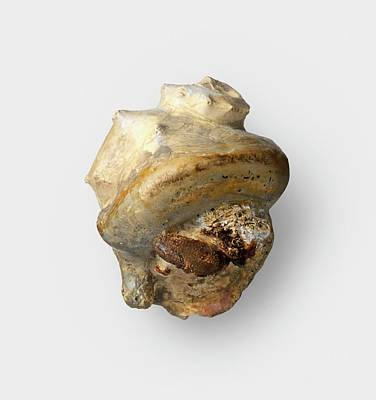 Hermit Crab Photograph - Completely Fossilized Hermit Crab by Dorling Kindersley/uig
