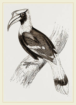 Hornbill Drawing - Concav Hornbill by Litz Collection