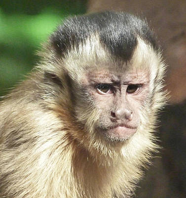 Photograph - Concentrating Capuchin by Margaret Saheed