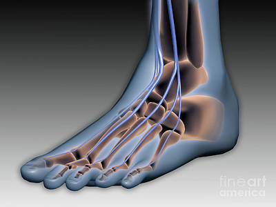 Human Joint Digital Art - Conceptual Image Of Human Foot by Stocktrek Images