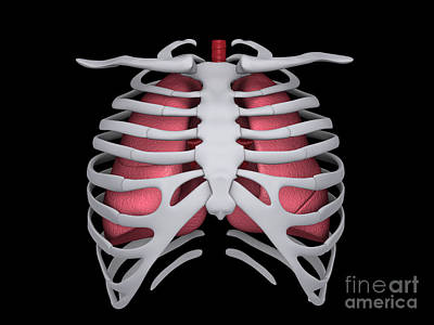 Digital Art - Conceptual Image Of Human Lungs And Rib by Stocktrek Images