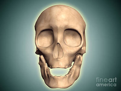 Human Skeleton Digital Art - Conceptual Image Of Human Skull, Front by Stocktrek Images