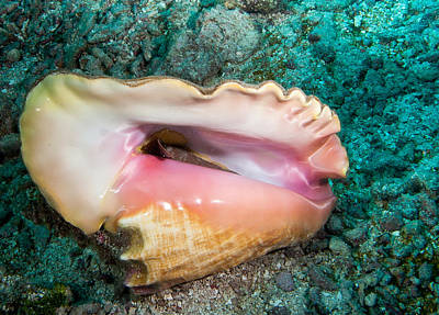 Photograph - Conch by Jean Noren