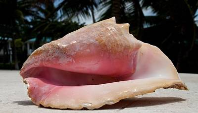 Photograph - Island Conch Shell by Kristina Deane