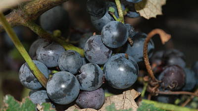 Concord Grapes Art Print by Rob Luzier