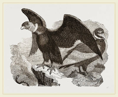 Condor Drawing - Condors by Litz Collection