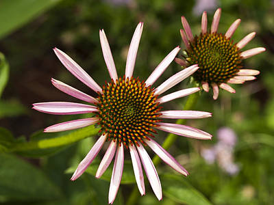 Photograph - Cone Flower - 1 by Charles Hite