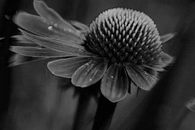 Photograph - Cone Flower Bw Art Velvet by Lesa Fine