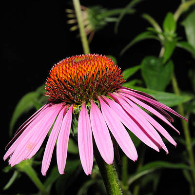 Photograph - Cone Flower by David Armstrong