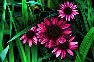 Coneflower Photograph - Cone Flower Pink by Lesa Fine