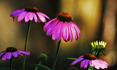 Cone Flower Shines... Art Print