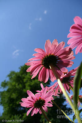 Photograph - Cone Flower Skies by Susan Herber