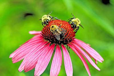 Cone Flower With Three Bees Art Print by Geraldine Scull