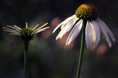 Photograph - Cone Flowers 1 by Jim Vance