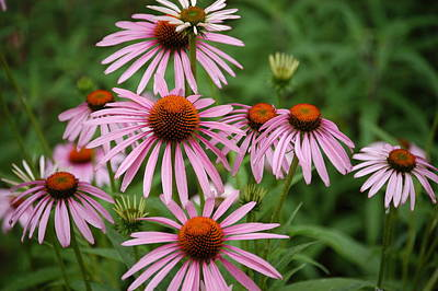 Cone Flowers Art Print by Donald Williams