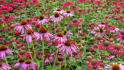 Photograph - Cone Flowers by Guy Whiteley