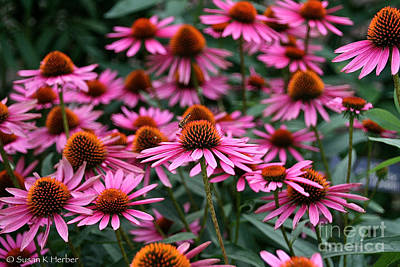 Photograph - Cone Flowers by Susan Herber