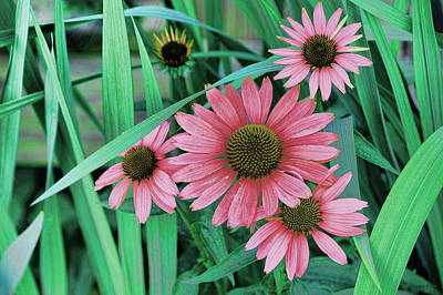 Cone Flower Salmon Art Print by Lesa Fine