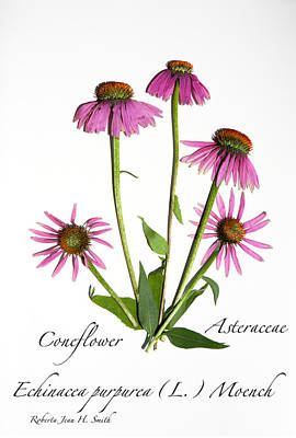 Photograph - Coneflower 5 by Roberta Jean Smith