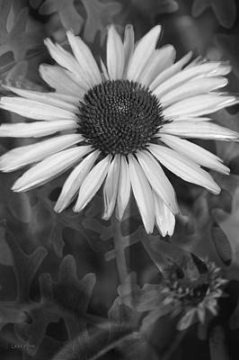 Photograph - Coneflower And Dusty Miller Bw by Lesa Fine