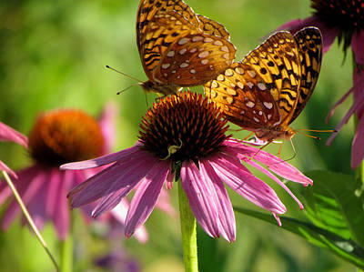 Photograph - Coneflower Butterflies by David T Wilkinson