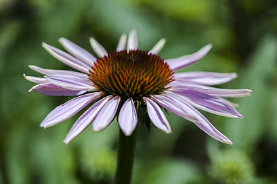Photograph - Coneflower Contrast by Dan Hefle