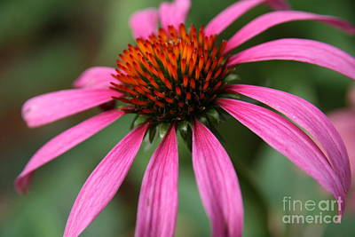 Photograph - Coneflower Elegance  by Neal Eslinger