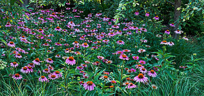 Photograph - Coneflower Extravaganza by Theo OConnor