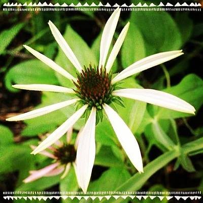 #coneflower Getting Ready To Open Art Print