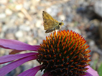 Photograph - Coneflower Guest by Jacqueline  DiAnne Wasson