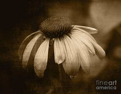 Photograph - Coneflower In Sepia by Marjorie Imbeau