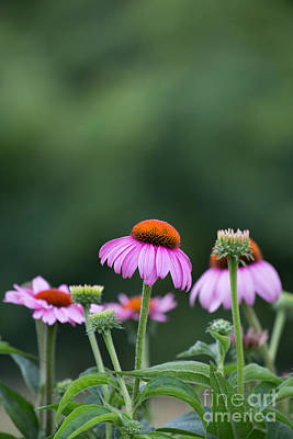 Photograph - Coneflower by Kay Pickens
