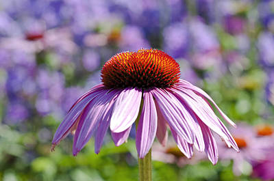 Art Print featuring the photograph Coneflower by Lana Enderle