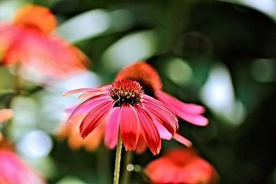 Photograph - Coneflower One by Katherine White