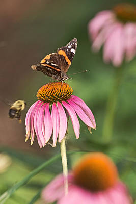 Photograph - Coneflower Snack For The Admiral by Theo OConnor
