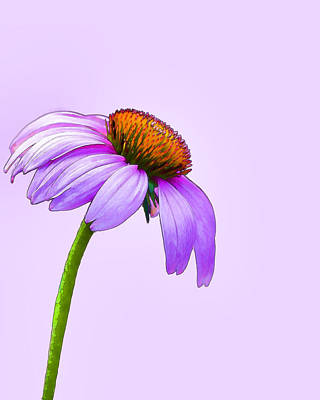 Bicycle Graphics - Coneflower Watercolor by Dan Holland
