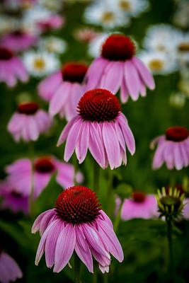 Photograph - Coneflowers In Front Of Daisies by Ron Pate