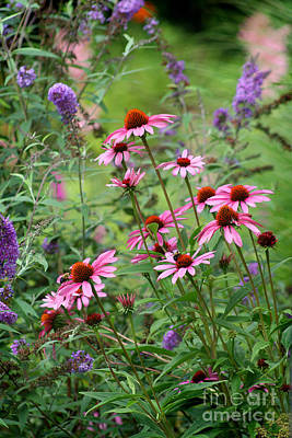 Photograph - Coneflowers In Garden by Karen Adams
