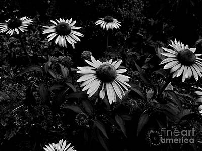 Frank J Casella Royalty-Free and Rights-Managed Images - Coneflowers - Monochrome by Frank J Casella
